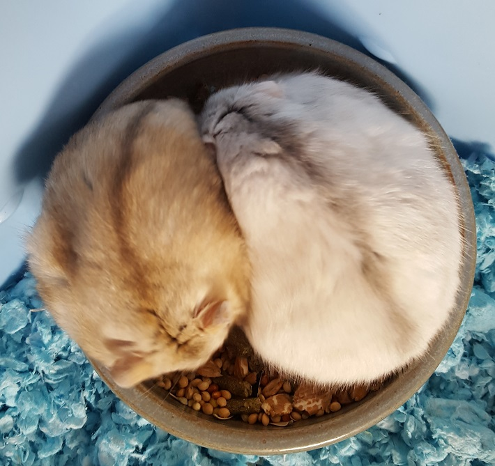 Dwarf Hamster Food Bowl